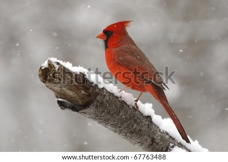 A male Cardinal enjoying a snowy day in Missouri. - stock photo