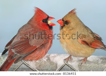 A male cardinal is offering a female cardinal his food. - stock photo