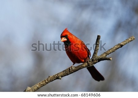 A Male Cardinal looking into the camera. - stock photo