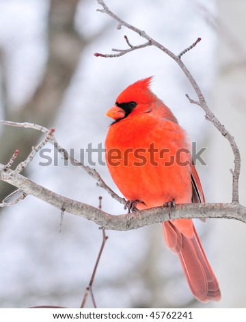 A male cardinal perched on a tree branch.