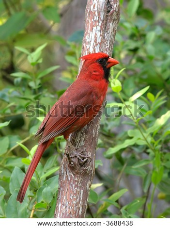 A male Cardinal sitting on a branch - stock photo