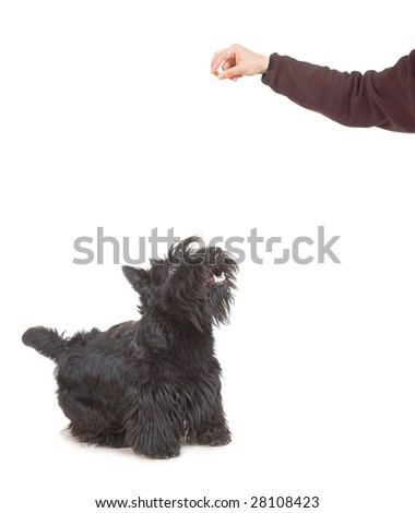 A male caucasian white hand feeding a scottish terrier