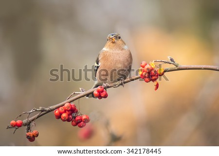 A male chaffinch, Fringilla coelebs, eating Sorbus, rowan, berries from a tree. Fall colors are clearly visible.
