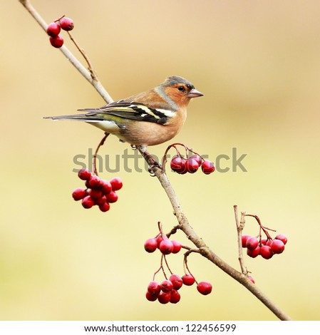 A male Chaffinch resting on a tree branch with red berries - stock photo