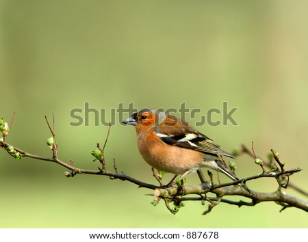 A male chaffinch sitting on the branch of a hawthorn tree in spring.