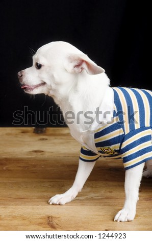 A male Chihuahua posing for the camera in a striped shirt. - stock photo