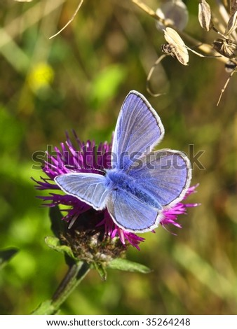 a male common blue butterfly polyommatus icarus on a knapweed flower - stock photo