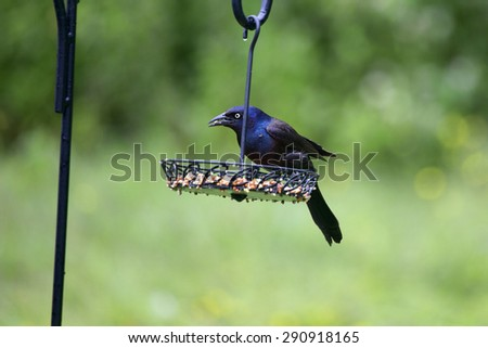 """A male common grackle on a feedeer in our backyear. This bird differs from the """"boat tailed"""" grackle in that its tail feathers are much shorter than those on the boat tailed grackle.  - stock photo"""