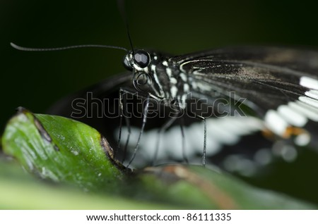 A male Common Mormon Butterfly (Papilio polytes) of the Papilionidae family, a common species of swallowtail butterfly, common throughout Asia - stock photo