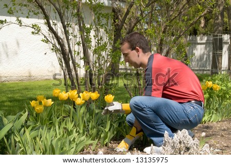 A male gardener taking care of his yellow tulips - stock photo