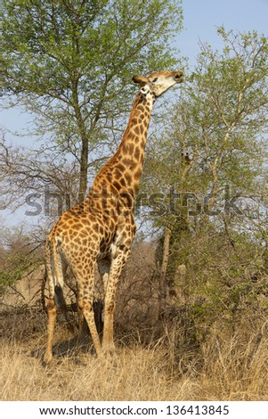 A male giraffe (Giraffa camelopardalis) stretches to feed in the Kruger National Park, South Africa. - stock photo