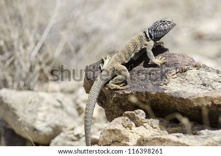 A male Great Basin Collared Lizard (Crotaphytus bicintores) at Joshua Tree National Park. - stock photo