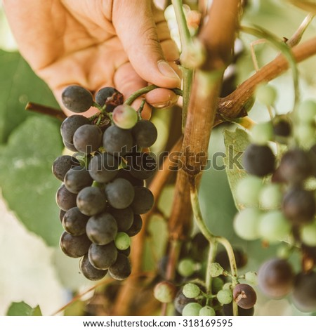 A male hand picks up a  bunch of grapes. The harvesting. - stock photo