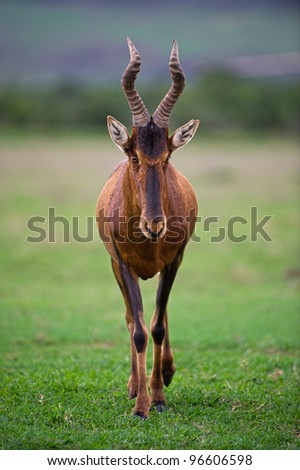 A Male Hartebeest approaches the car - stock photo