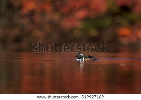 A male Hooded Merganser swims on a pond on a sunny morning with vivid red fall colors surrounding him.
