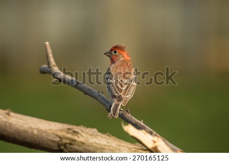 A male House Finch perched outside on a limb in Lexington, KY during the spring of 2015.
