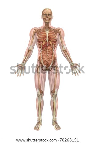 A male human skeleton with internal organs - 3D render. - stock photo
