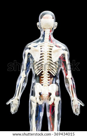 A male human skeleton with internal organs isolated on black background.(back view)
