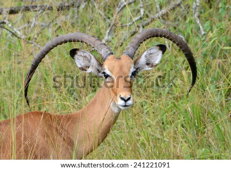 A male impala rests in the sun on the plains of East Africa in Uganda - stock photo