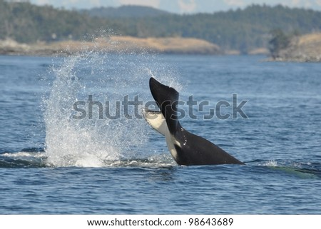 A male killer whale slaps his tail. - stock photo