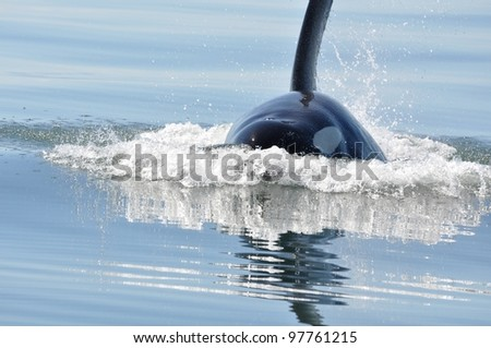 A male killer whale surfaces in the calm waters of the Salish Sea. - stock photo