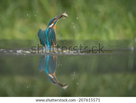 A male Kingfisher leaving the water after a successful dive. - stock photo