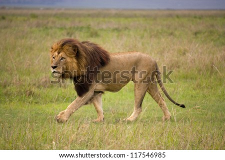 A male Lion crosses the grassy plains of the Serengeti - stock photo
