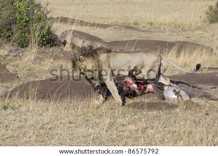 A male lion drags a fresh wildebeest kill in the Masai Mara. - stock photo