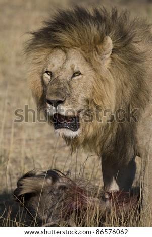 A male lion drags a fresh wildebeest kill in the Masai Mara. - stock photo