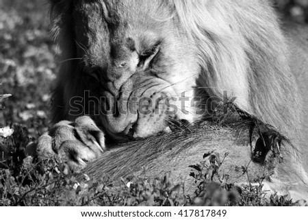 A male lion feeds on his warthog kill. Taken in South Africa. - stock photo