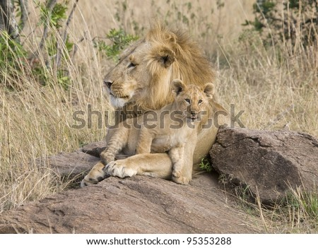 A male lion & his little one in the Masai Mara. - stock photo