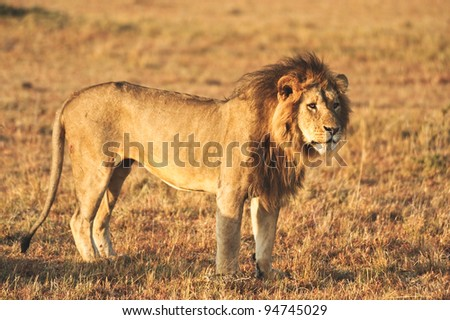 A male lion in Kenya