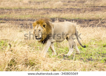 a male lion in the savannah