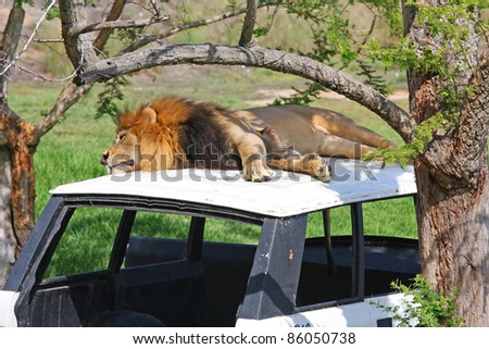 A Male Lion laying on an abandoned vehicle - stock photo
