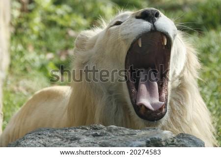 A male lion letting out a loud roar. - stock photo