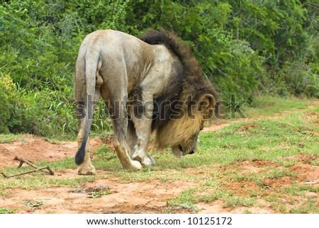 A Male Lion looking for a female in Mating Season - stock photo
