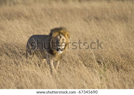 A male lion looks for his pride in the Masai Mara in Kenya. - stock photo