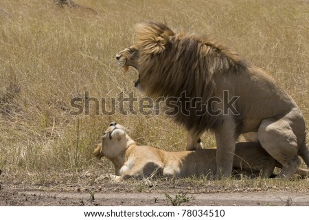 A male lion mates with a female lioness on the plains of the Masai Mara. - stock photo
