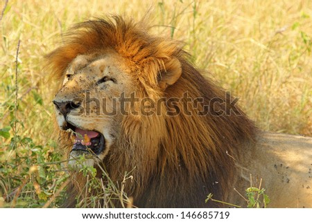 A male lion (Panthera Leo) napping in the shade - stock photo