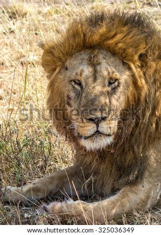 A male lion (Panthera leo) on the Maasai Mara National Reserve safari in southwestern Kenya. - stock photo
