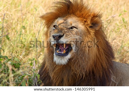 A male lion (Panthera Leo) showing his teeth - stock photo