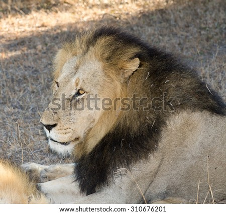 A male lion resting under a tree in Sabi Sands, South Africa