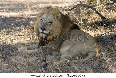 A male lion resting under a tree in Sabi Sands, South Africa - stock photo