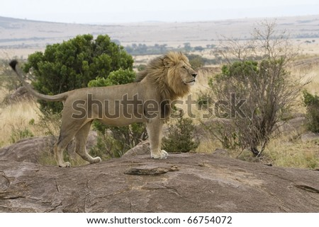 A male lion returns to the pride after days of being away.