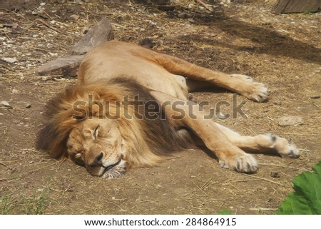A male lion sleeping at the zoo, stretched out and relaxed