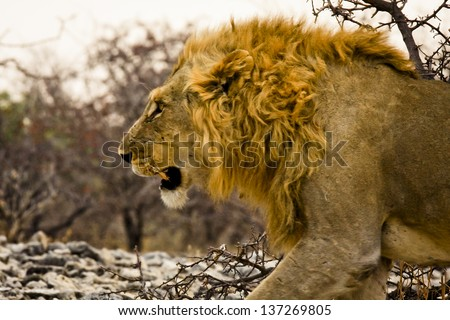 Male lion stalking prey - photo#13
