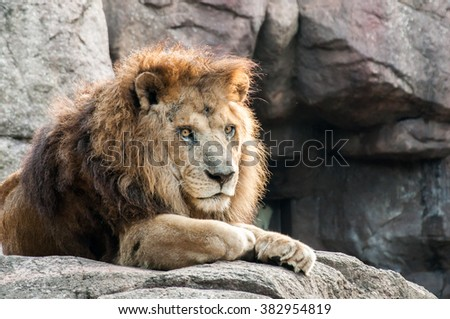 A male lion staring back, under the afternoon sunlight - stock photo