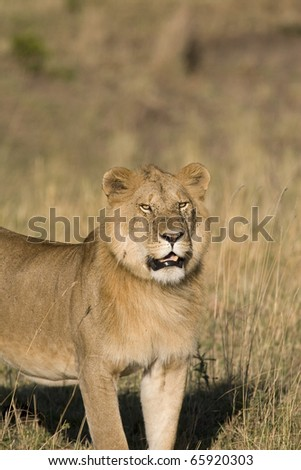 A male lion walks the plains of the Masai Mara in Kenya.