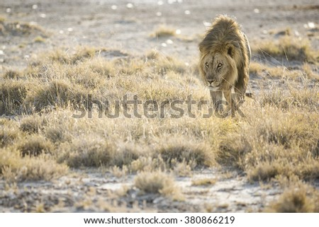 A male lion walks towards a water hole in Namibia.