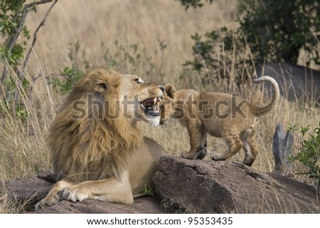 A male lion warns his little one with a small bite in the Masai Mara. - stock photo